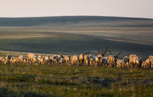 Photo of caribou herd